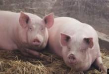 Африканска чума открита и във варненските села Приселци, Шкорпиловци и Шерба