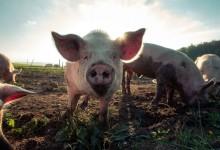 Открити са десет нови случая на чума по свинете